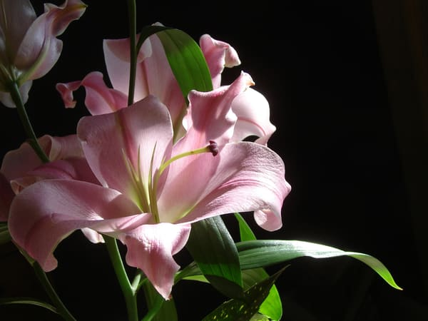 photo lily flower chiaroscuro wall art