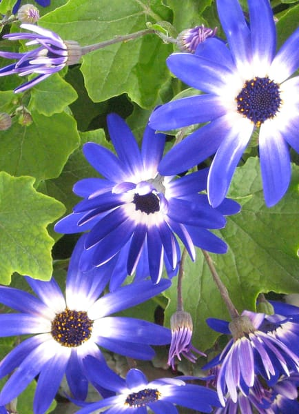 Floral photography, Blue daisies, blue bursts
