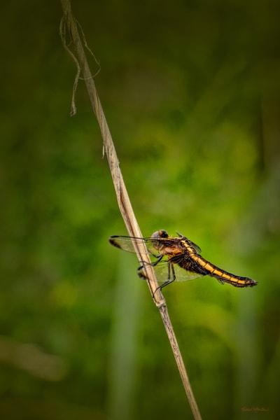 Dragonflies G  Mg 6610 20 Fs Koral Martin Photography Art | Koral Martin Fine Art Photography