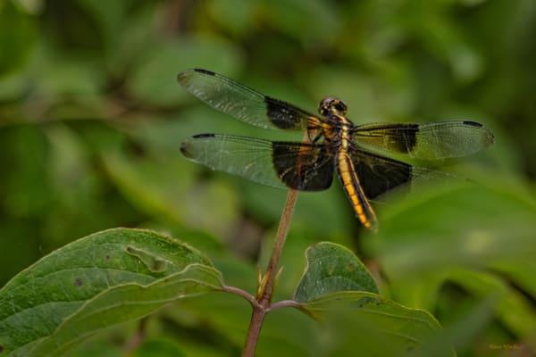 Dragonflies G  Mg 6637 20 Fs Koral Martin Photography Art | Koral Martin Fine Art Photography