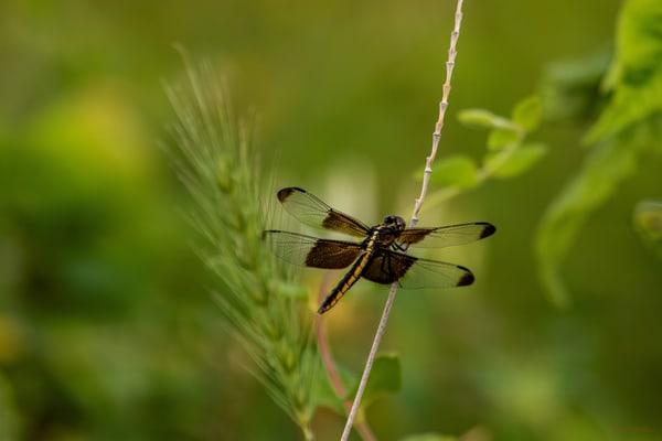 Dragonflies  6647  Art | Koral Martin Fine Art Photography