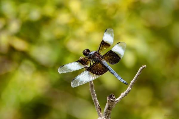 Dragonflies G2     6631  Art | Koral Martin Fine Art Photography