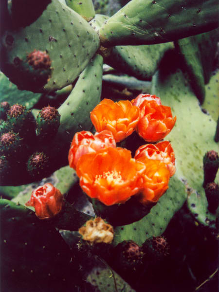 Prickly Pear Flower Photography Art | Julian Whatley Photography