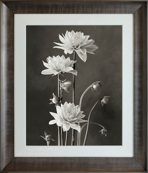 White Dahlias  Art | Sondra Wampler | fine art