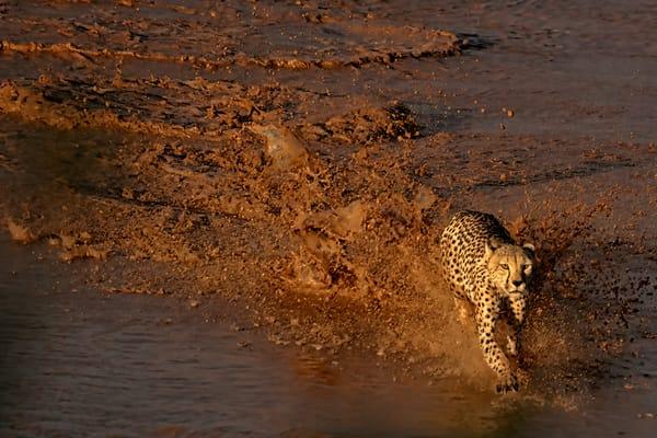 Cheetah Photography Art   nancyney