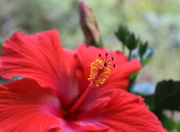hibiscus flower photo red rose green photograph garden wall art macro close up