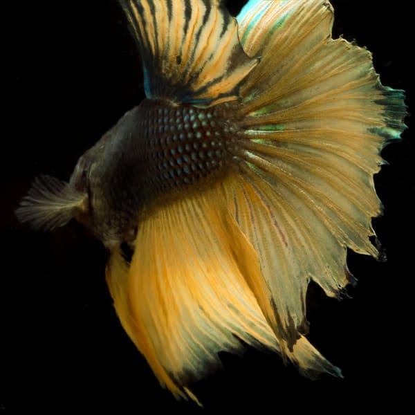 Gold Beta Fish