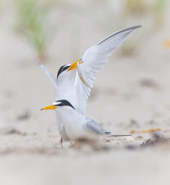 Least Tern Courtship Photography Art | Sarah E. Devlin Photography