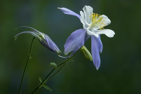 Dance Of The Columbine Art | Kirk Fry Photography, LLC