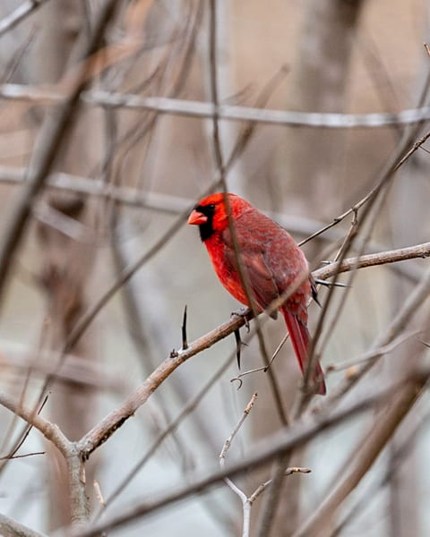 Winter Cardinal Photography Art | Happy Hogtor Photography