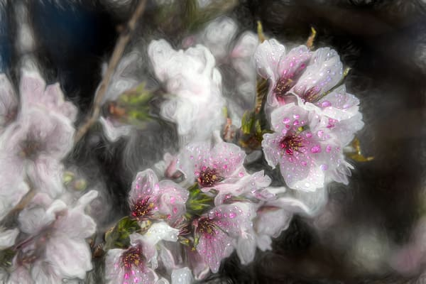 Vivid dew drops on cherry blossoms