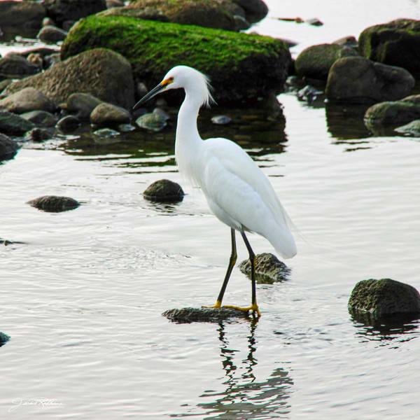 snowy-egret oceans coastline elegant