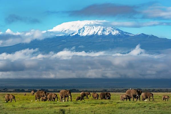 Mt Kilamanjaro Elephant Herd Photography Art   nancyney
