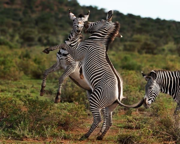 Zebras Playing Photography Art   nancyney