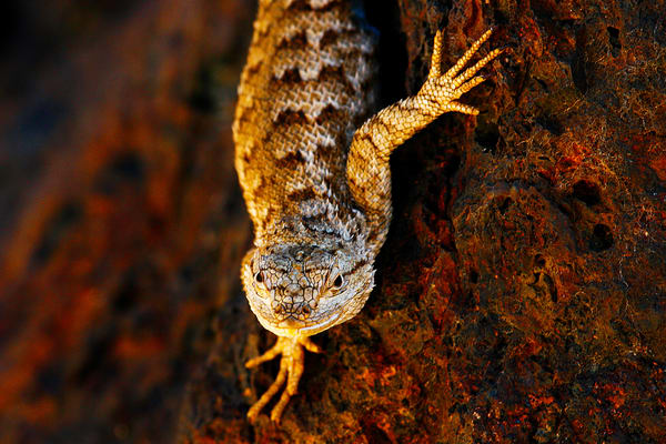 Portrait Of A Lizard Photography Art | Brokk Mowrey Photography