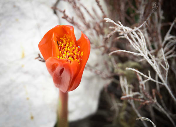 Spotted April-fool or blood flower photography collection   Eugene L Brill