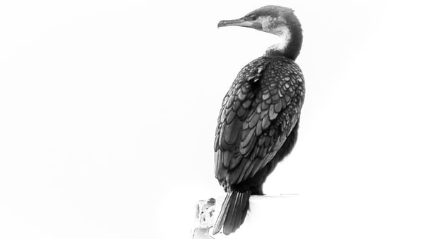 Double-crested Cormorant South Africa photography collection | Eugene L Brill