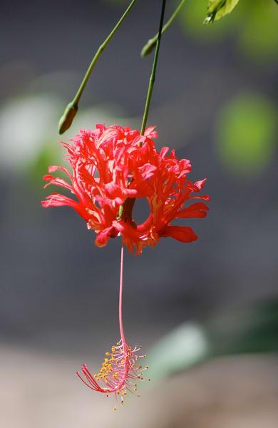 SL - Hibiscus at HF