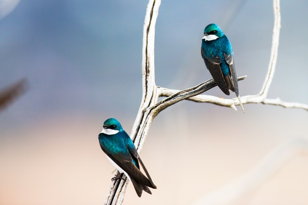 Tree Swallows Photography Art | Brokk Mowrey Photography