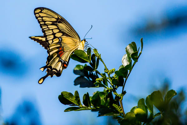 Swallowtail Butterfly Photography Art | Brokk Mowrey Photography