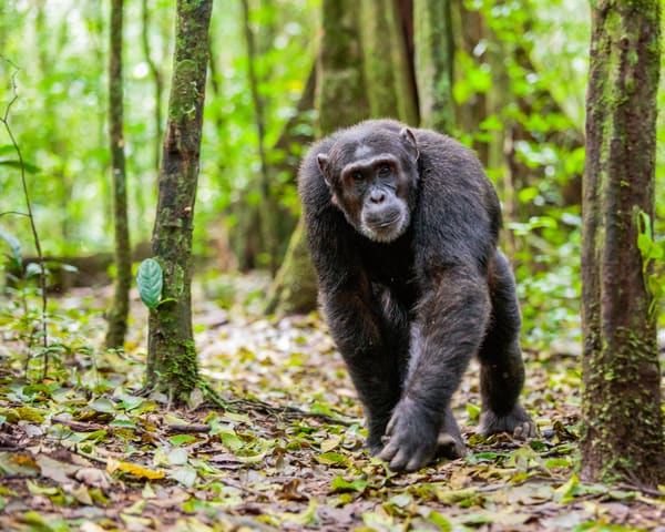 Chimp Forest Photography Art   Brokk Mowrey Photography