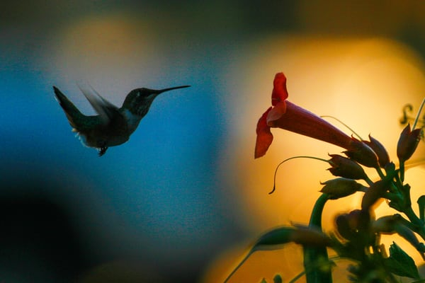 Flight Of The Hummingbird Photography Art | Brokk Mowrey Photography