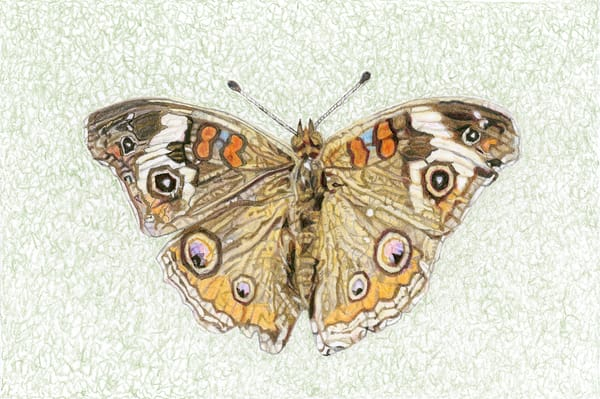 Common Buckeye Butterfly Art | Digital Arts Studio / Fine Art Marketplace
