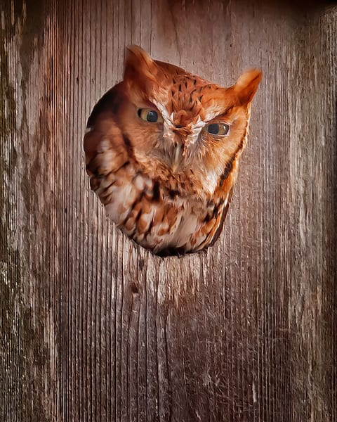 Eastern Screech Owl Photography Art | Jim E Johnson Photography
