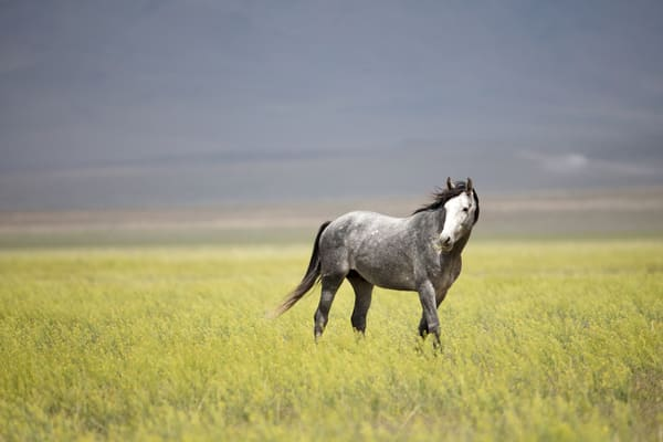 Stallion In The Wind Photography Art   Brokk Mowrey Photography