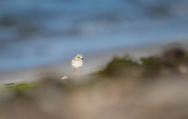 Piping Plover Chick Art | Sarah E. Devlin Photography