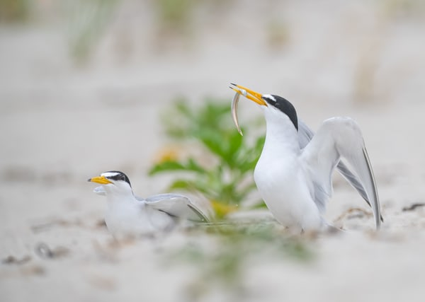 Least Tern Courting Photography Art | Sarah E. Devlin Photography