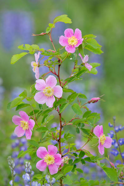 Woods' Rose or Western Wild Rose