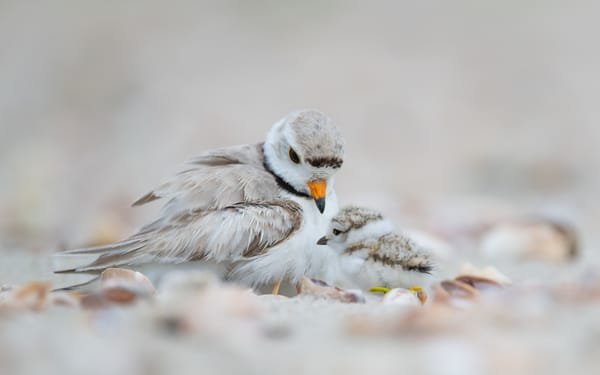Piping Plover With Chick Art | Sarah E. Devlin Photography