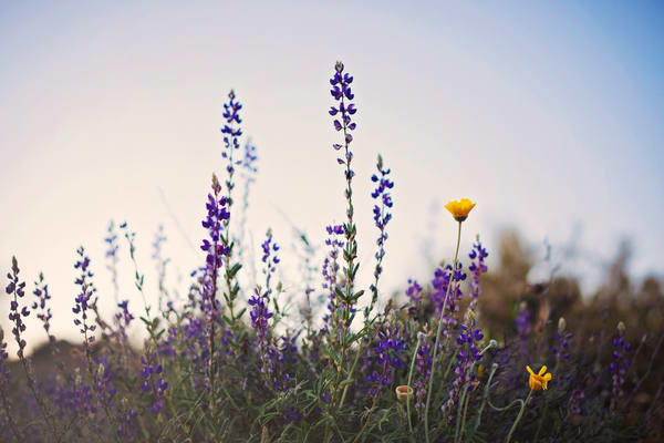 Wild Lavender At Twilight Photography Art | POLAROIDS AND A POSTCARD
