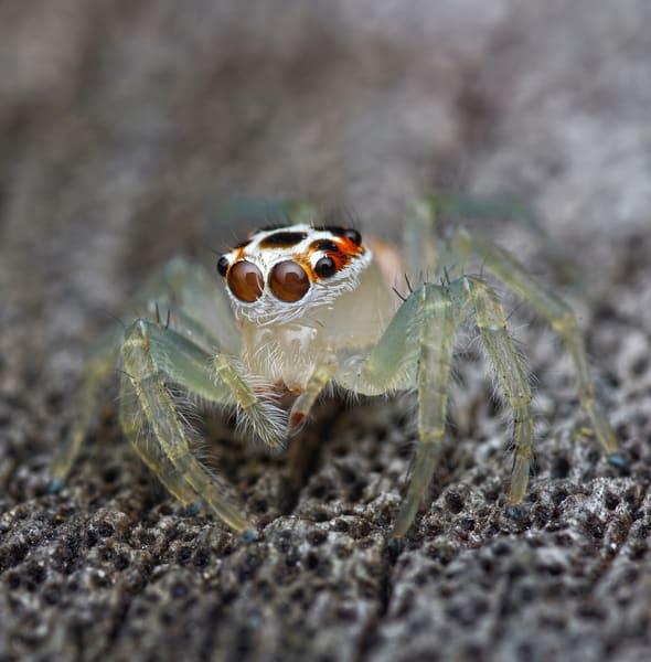 Jumping Spider Art | Danny Johananoff