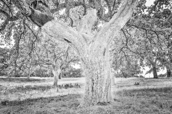 The Ghost Tree Photography Art | Roberto Vámos Photography
