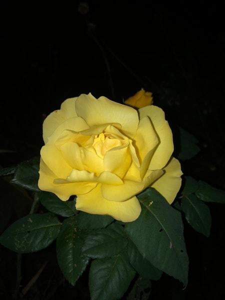 Night Rose Art | Off The Edge Art