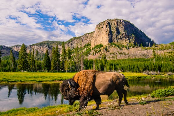 Bison Along the Madison River, Yellowstone Park, Wyoming, 2013