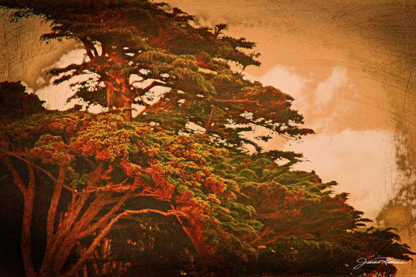 monterey pines windswept heat orange
