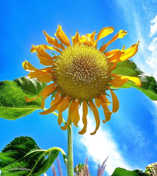 happiness sunflower yellow bright