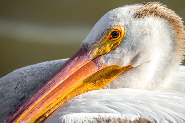 Portrait Of A Pelican Photography Art | Brokk Mowrey Photography