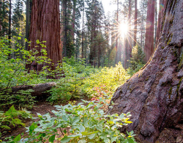 Sequoia Sunburst Photography Art | Brokk Mowrey Photography