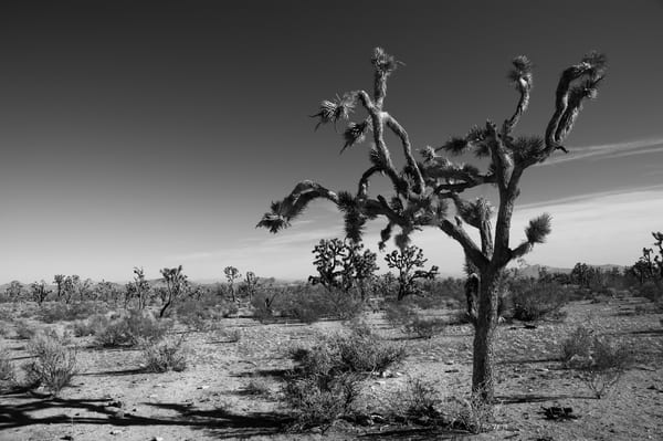 Joshua Tree In Black And White #2 Art | Linda Roberts Photography