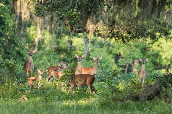 White-tailed Deer in Woods, Damon, Texas