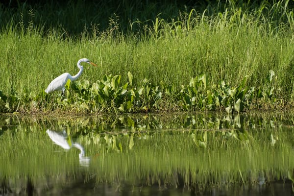 Great Egret Fishing, Damon, Texas