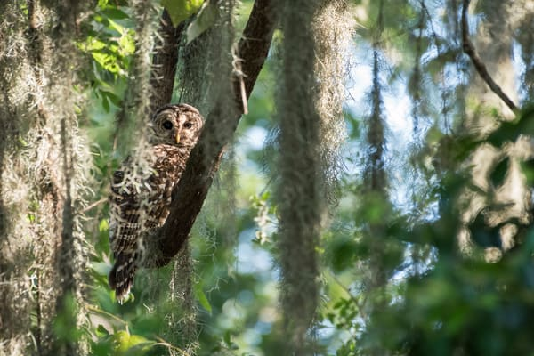 Barred Owl in Hiding, Damon, Texas