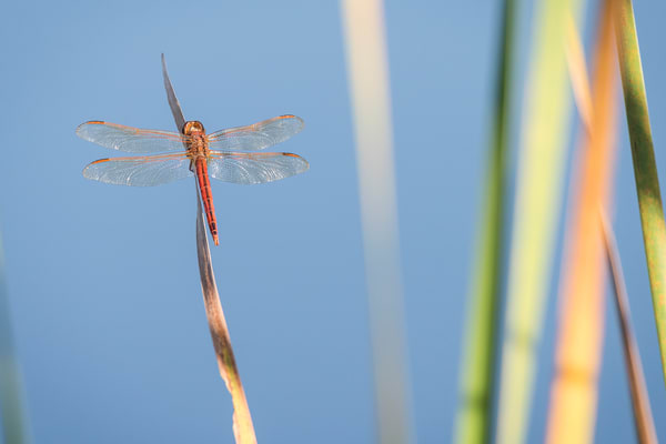 Red Dragon Fly, Damon, Texas