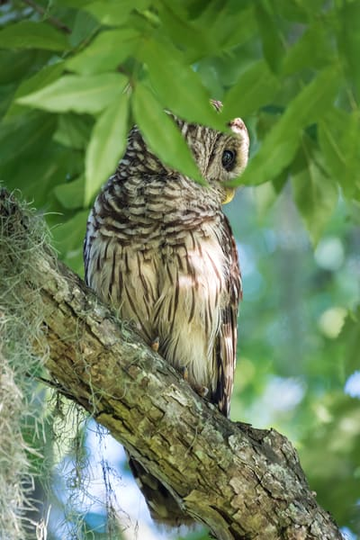Barred Owl Profile, Damon, Texas