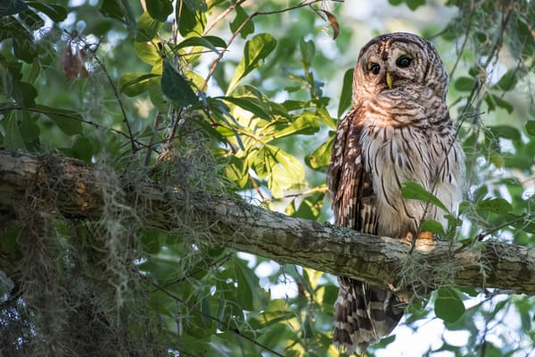 Barred Owl at Twilight, Damon, Texas