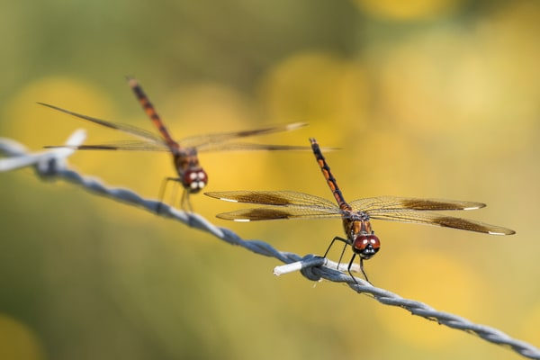 Dragon Flies on Barbed Wire, Damon, Texas
